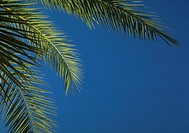 Palm branches, low angle view