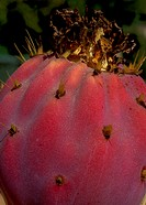Prickly pear, extreme close-up