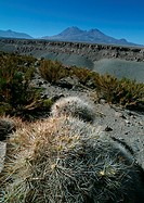 Chile, El Norte Grande, cacti and mountains in distance