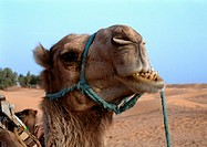 Tunisia, The Sahara Desert, camel's head, close-up