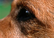 Brown dog's eye, side view