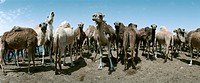 Tunisia, herd of camels, panoramic view