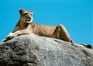 Africa, Tanzania, lioness lying on rock