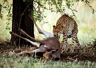 Africa, Tanzania, cheetah biting into prey (thumbnail)