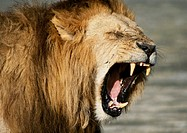 Africa, Kenya, lion baring fangs, focus on head