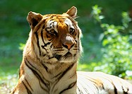 India, tiger, focus on head