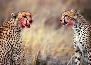 Africa, Tanzania, cheetahs sitting with blood-stained faces (thumbnail)