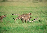 Africa, Tanzania, three cheetahs pursuing baby gazelle