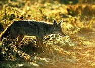 Africa, Tanzania, jackal, side view