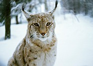 Europe, Germany, lynx, snow-covered forest in background