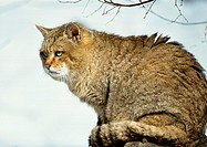 Wildcat sitting outside