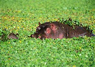 Africa, Tanzania, hippopotamus in water filled with aquatic plants