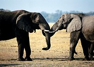 Africa, Botswana, two elephants face to face, side view