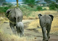 Africa, Tanzania, two adult elephants and baby elephant, rear view