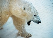 Canada, polar bear baring teeth