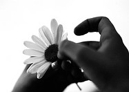Hands pulling petals from flower, close-up, b&w