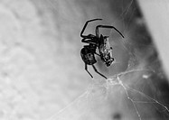Spider on web, b&amp;w
