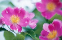 Dog rose (Rose canina)