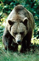 Female Brown Bear (Ursus arctos)