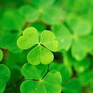 10644772, close up, clover, Oxalis acetosella, sour clover,