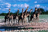 Girraffe herd near waterhole, Etosha Pan National Park, Namibia