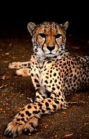 Cheetah, Oudtshoorn, Western Cape, South Africa