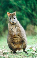 Red-bellied Pademelon (Thylogale billardierii)