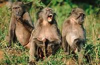 Chacma Baboons (Papio ursinus). Umfolozi Game Reserve. South Africa