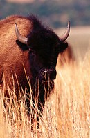 Bison (Bison bison)grazing at prairie, Wichita Mountains Wildlife Refuge, Oklahoma, USA