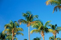 Coconut trees. Antigua. West Indies. Caribbean