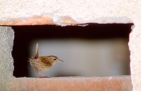 Winter Wren (Troglodytes troglodytes) On urban setting