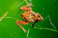 Common frog (Rana temporaria) Swimming on pond