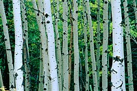 Poplars in Montane Forest. Kootenay River. British Columbia. Canada