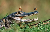 Common Caimans (Caiman crocodilus). Pantanal. Brazil
