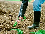Farmer pulling carrots out of the soil