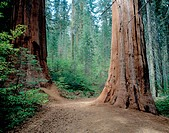 Giant Sequoia (Sequoiadendron giganteum). Trail to Merced Grove, Yosemite National Park. CA. USA
