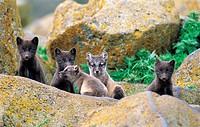 Arctic Blue Fox, Pribilof Islands, St Pauls, Alaska, USA