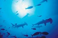 Shovelhead/Hammerhead Sharks amongst fish