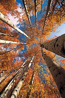 Aspen Tree, Colorado, USA