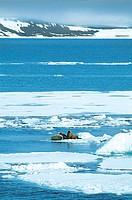 Three Walruses (Odobenus rosmarus)