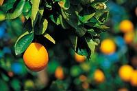 Orange Growing on An Orange Tree