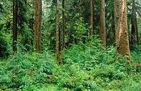 Saplings growing in a forest clearing. Queets Rain Forest. Olympic National Park. Washington. USA