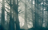 Spruce forest skeletons with God beams. Rialto Beach, Olympic National Park. Northern Washington coast, USA