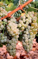 Grapes. Almansa, Albacete province. Spain