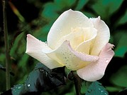 Pristine rose