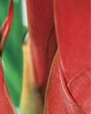 Guzmania detail (thumbnail)