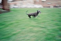 Dog in motion (thumbnail)