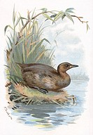 Little grebe. Historical artwork of a little grebe (Tachybaptus ruficollis) at the water´s edge. This bird inhabits rivers, lakes and marshland, feedi...
