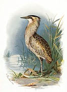 Bittern, historical artwork. The bittern (Botaurus stellaris)  is  a water bird that inhabits marshes and wetlands in Europe.  It feeds on frogs,  wat...