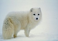 Arctic fox. View of an arctic fox (Alopex lagopus) in snow.  This fox is in its white phase, which it displays during the winter.  In summer months  i...